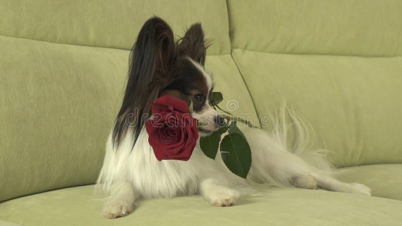 Hund Papillon hält Rotrose in seinem Mund in der Liebe am Valentinsgrußtag stockbilder