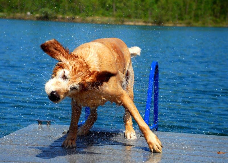 Hund rüttelt weg Wasser stockfotos