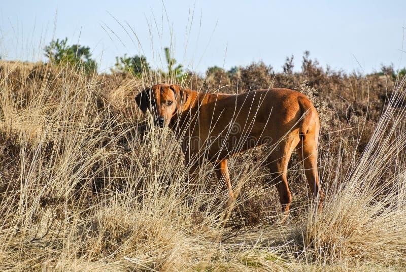 Hund Rhodesian Ridgeback som döljas i högväxt gräs royaltyfria bilder
