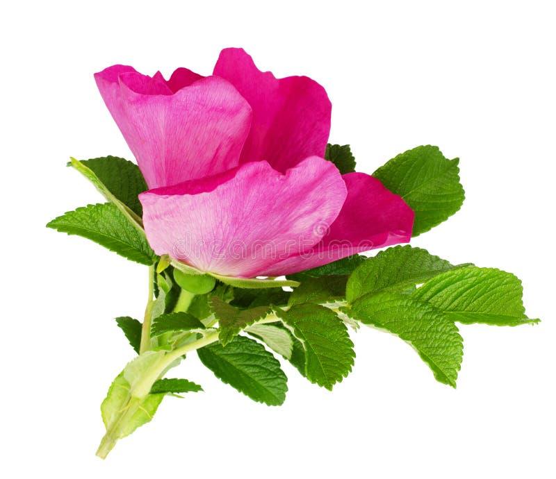 Hund-Rosenblume und -blätter stockfotos