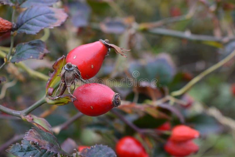 Hund-Rosenfrucht lizenzfreies stockbild