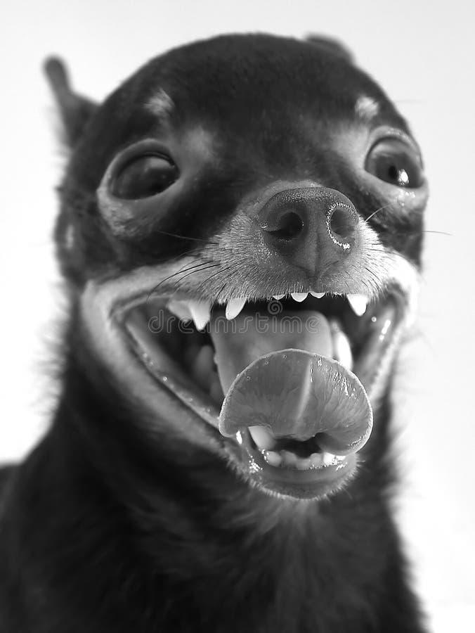 Hund - russisches Spielzeug-terrie stockbilder