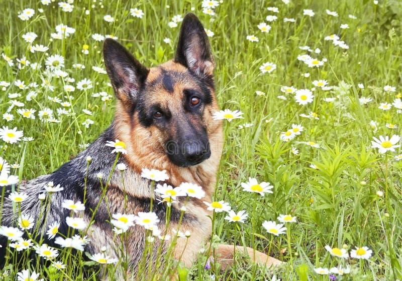 Hund, Schäferhund in den weißen Gänseblümchen lizenzfreie stockbilder