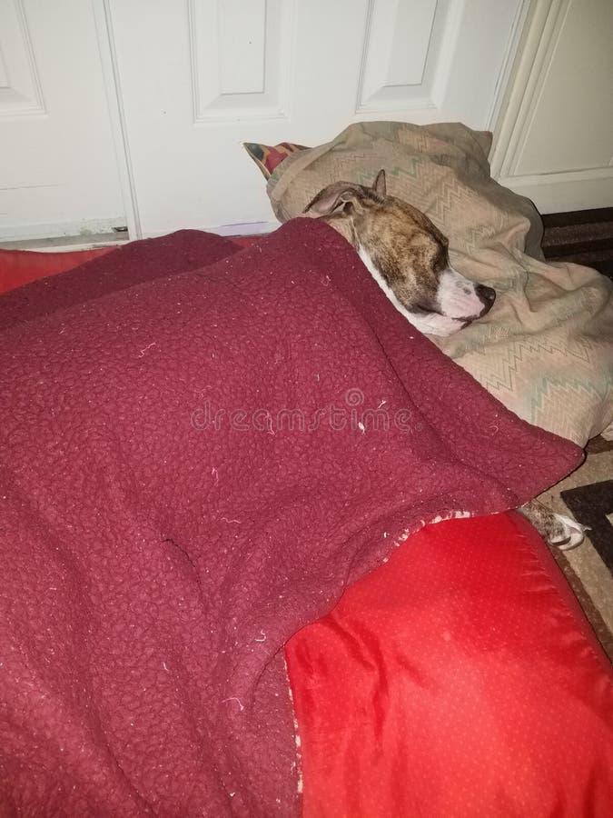 Hund schläft fast wie ein Mensch lizenzfreies stockfoto