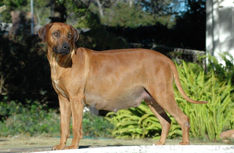 Hund schwanger stockbilder
