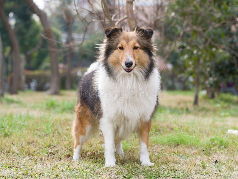 Hund Shetland fårhund royaltyfria bilder