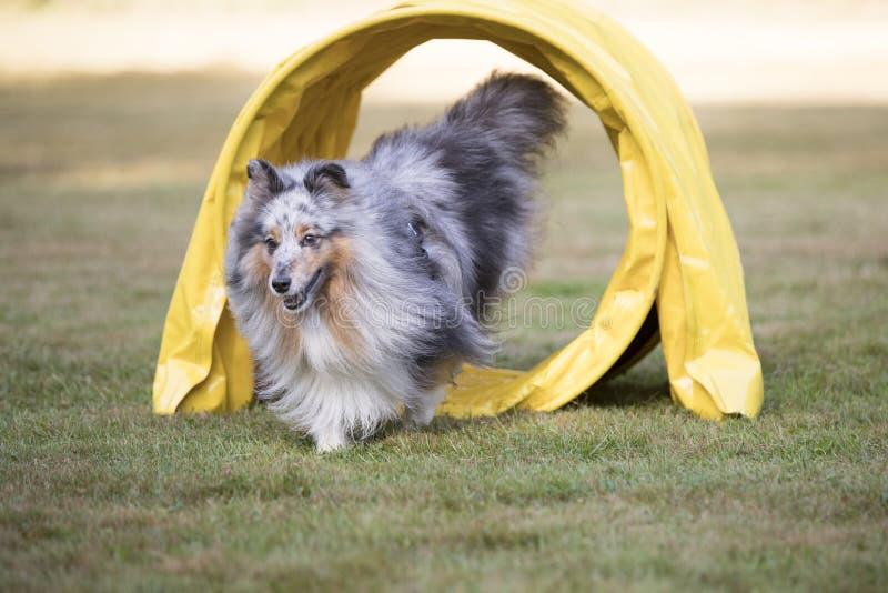 Hund Shetland fårhund, Sheltie spring till och med vighettunnelen arkivbilder