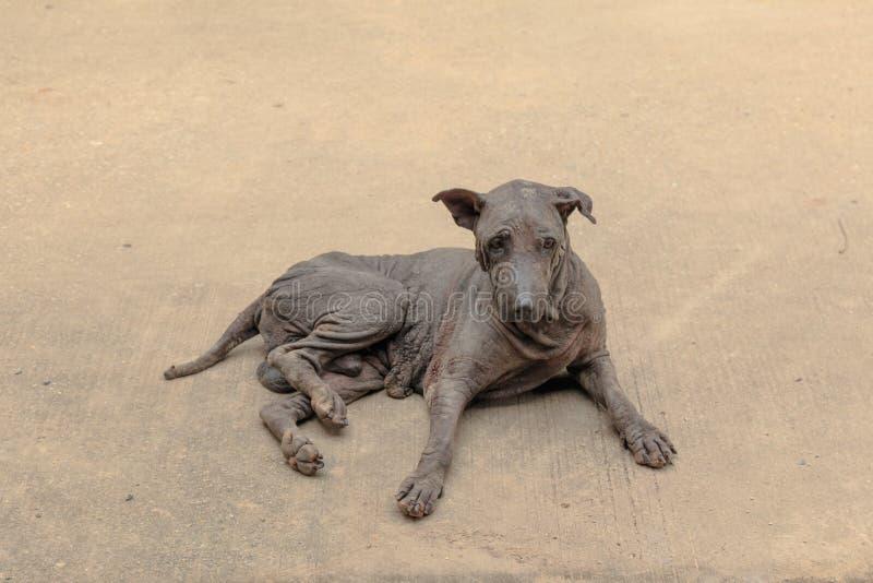 Hund- skabbhund arkivbild