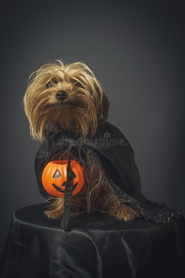 Hund som är förklädd för allhelgonaafton arkivfoto