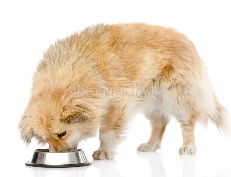 Hund som äter mat från maträtt På vitbakgrund royaltyfri fotografi