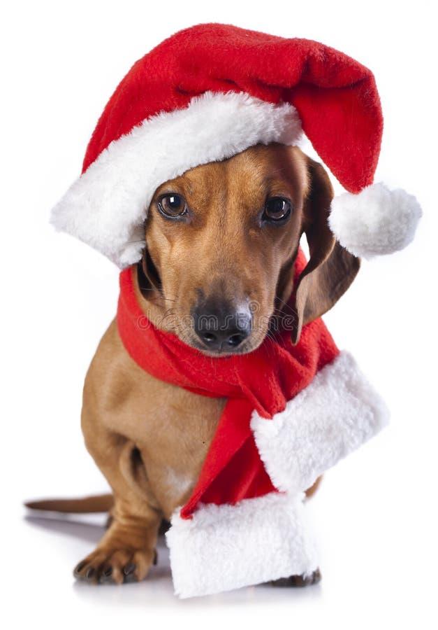 Hund som bär en jultomtenhatt royaltyfri fotografi