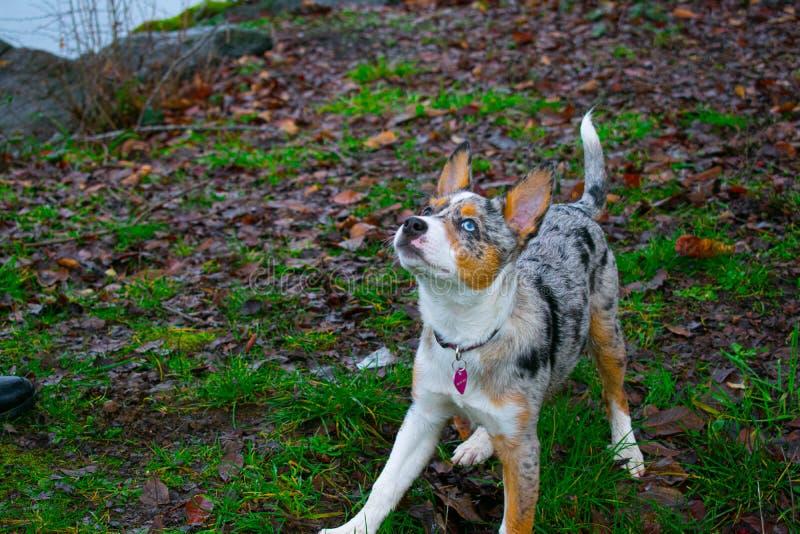 Hund som biter en pinne royaltyfria foton