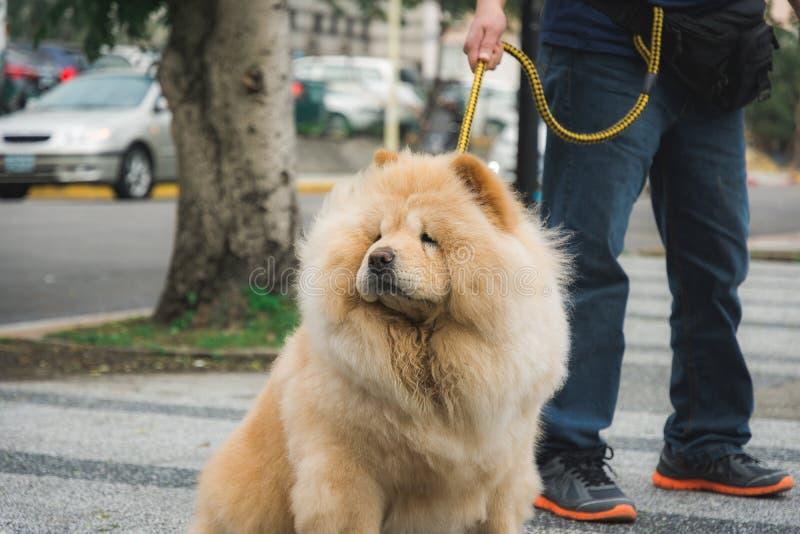 Hund som drar på en koppel royaltyfri fotografi