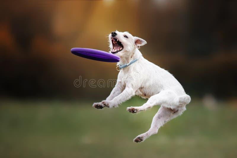 Hund som fångar skivan i hopp arkivbild