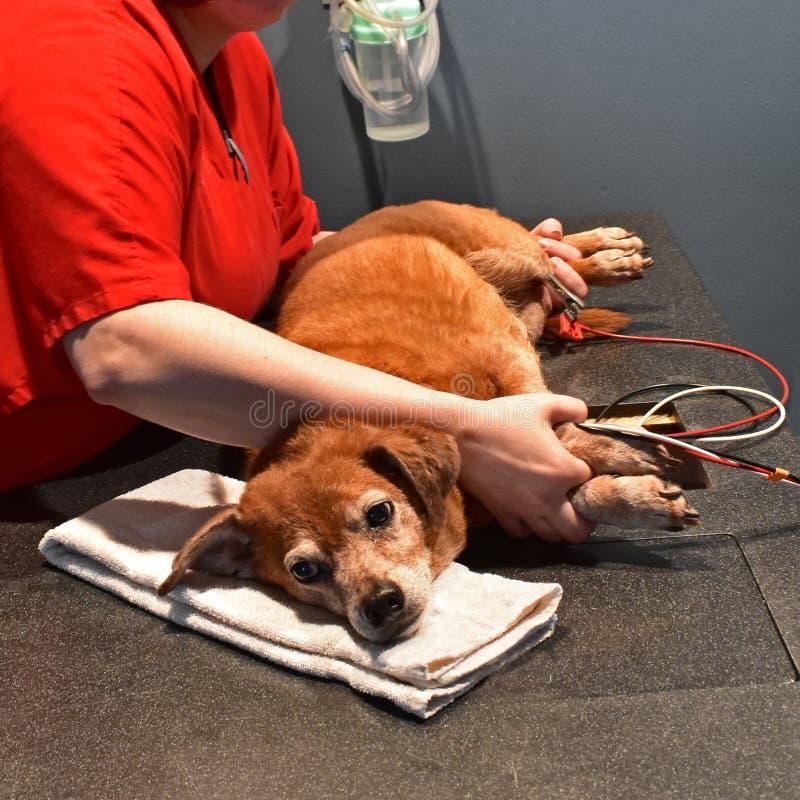 Hund som får en hjärtaultraljud på veterinären royaltyfria bilder