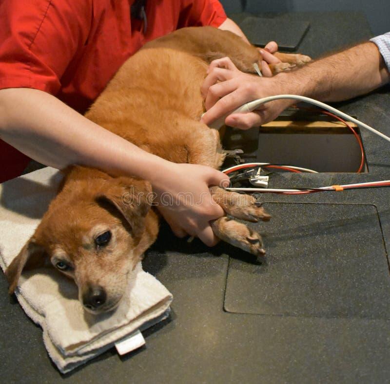 Hund som får en hjärtaultraljud på veterinären arkivbilder