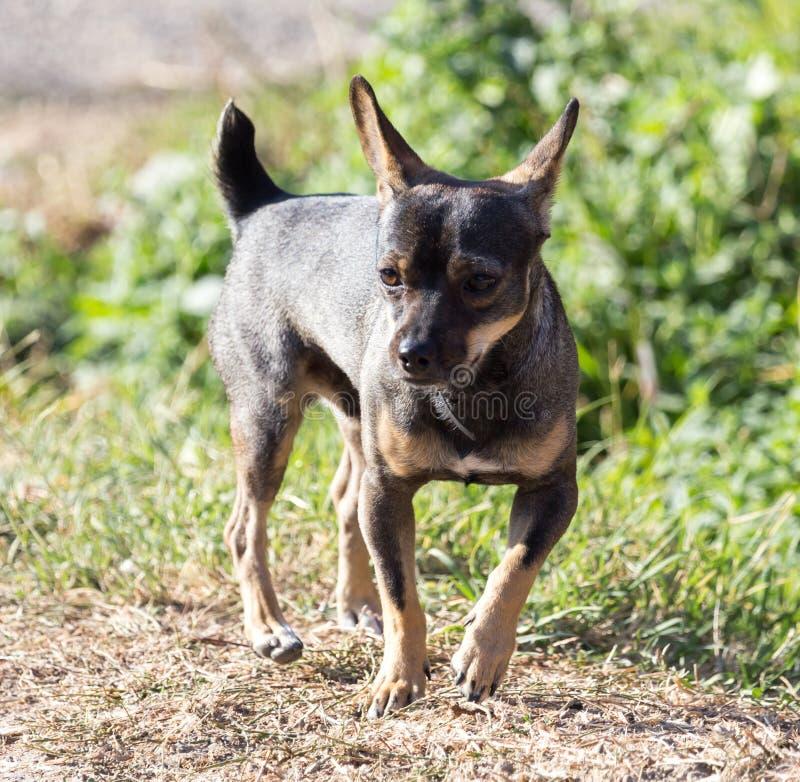 Hund som går i natur arkivfoto