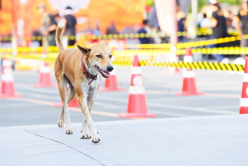 Hund som går i tävlings- spår arkivfoton