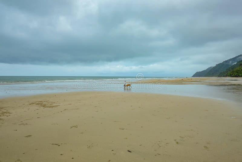 Hund som g?r p? den h?rliga tropiska stranden p? den Kohchang ?n i morgonen och den regniga dagen Trat arkivbild