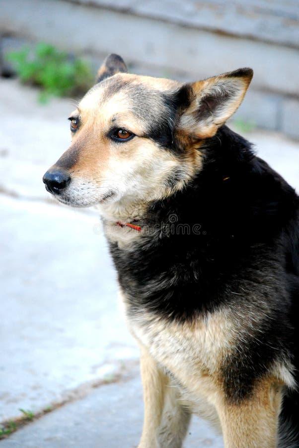 Hund som håller ögonen på dig arkivfoto