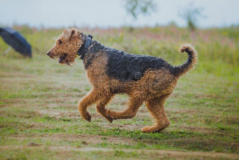 Hund som jagar i fält arkivbilder