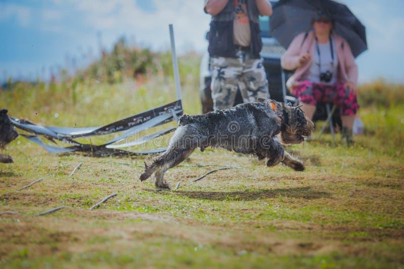 Hund som jagar i fält royaltyfria foton
