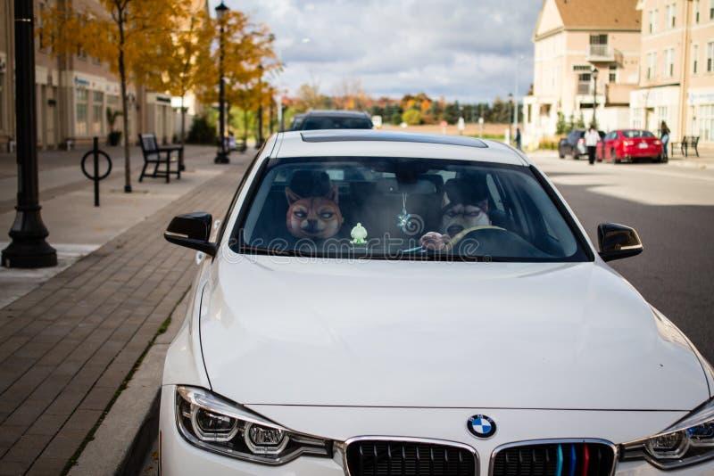 Hund som kör en bil royaltyfria bilder