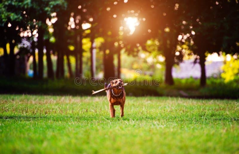 Hund som kör med en pinne i dess mun i ett gräs b?sta v?n lycklig hund unga vuxen m?nniska arkivbild