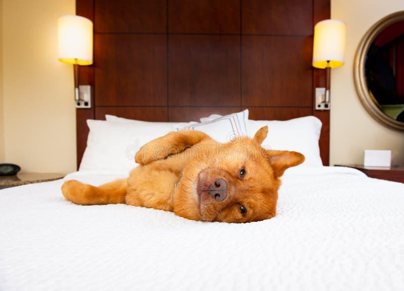 Hund som kopplar av i hotellsäng arkivbild