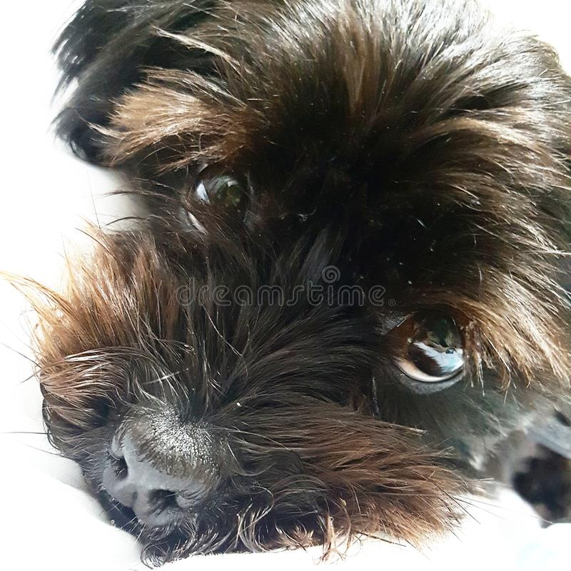 Hund som kyler ögon för valphund fotografering för bildbyråer