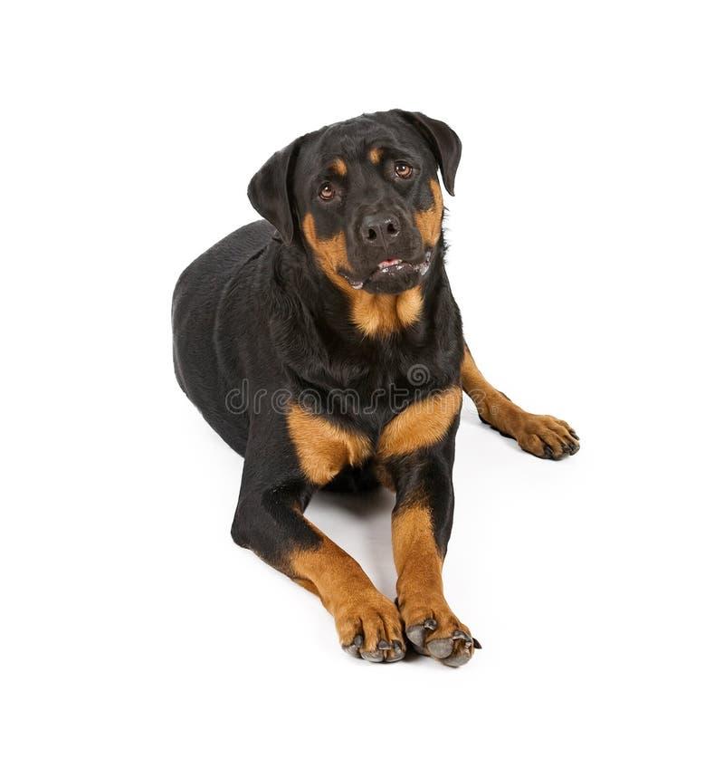 hund som lägger ner rottweiler royaltyfria bilder