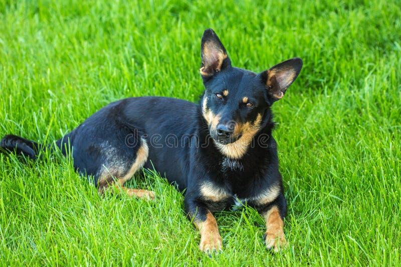 Hund som ligger i det gröna gräset royaltyfri fotografi