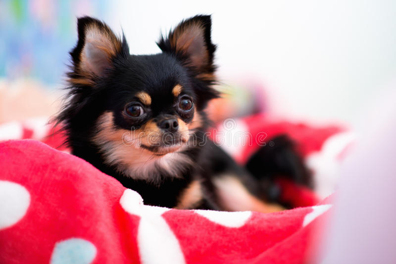 Hund som ligger på säng arkivfoto