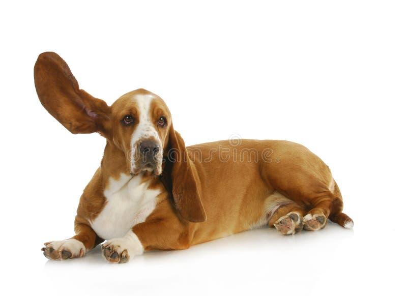 Hund som lyssnar royaltyfria foton