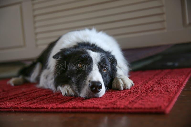 Hund som ner lägger arkivfoton