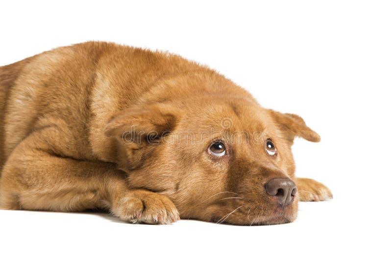 Hund som ner ligger och ser upp royaltyfri foto
