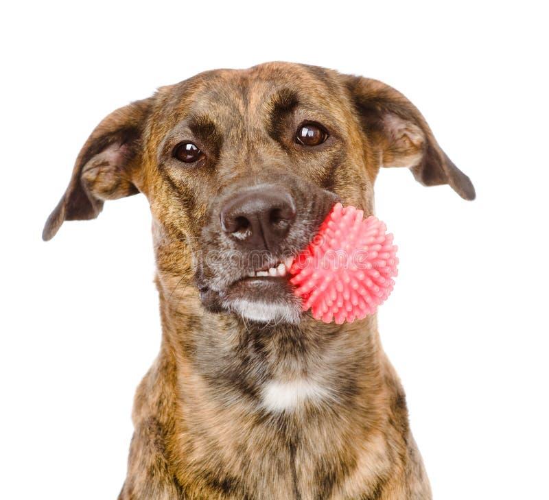 Hund som rymmer den röda bollen bakgrund isolerad white royaltyfri bild