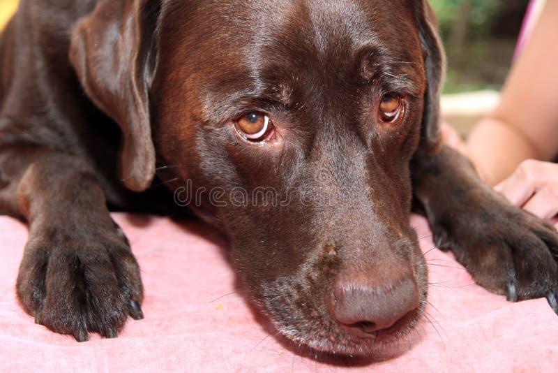 hund som ser SAD royaltyfria foton