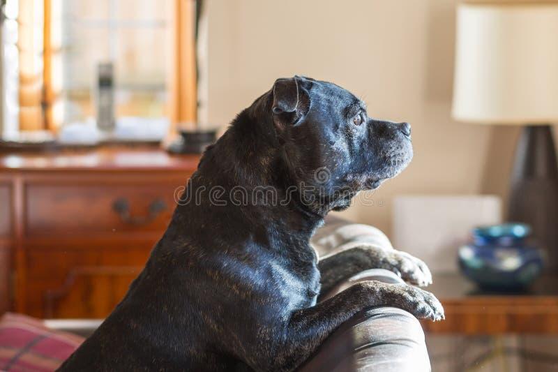 Hund som ser ut ur ett fönster. royaltyfri bild
