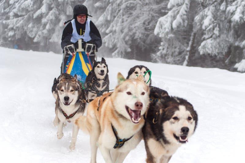 Hund som sledding med skrovlig hundkapplöpning arkivfoton
