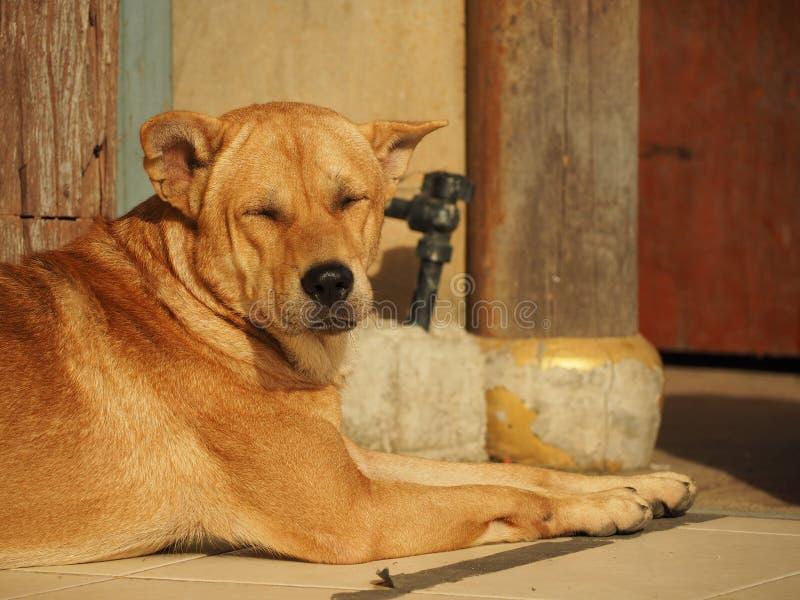 Hund som sover på solen arkivfoton