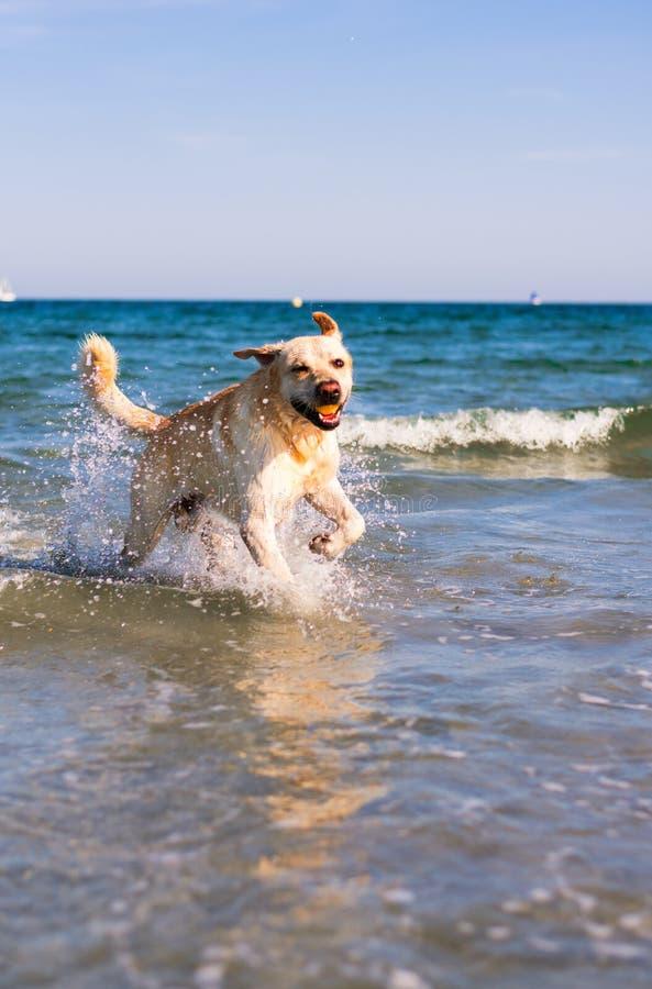 Hund som spelar i stranden royaltyfri fotografi