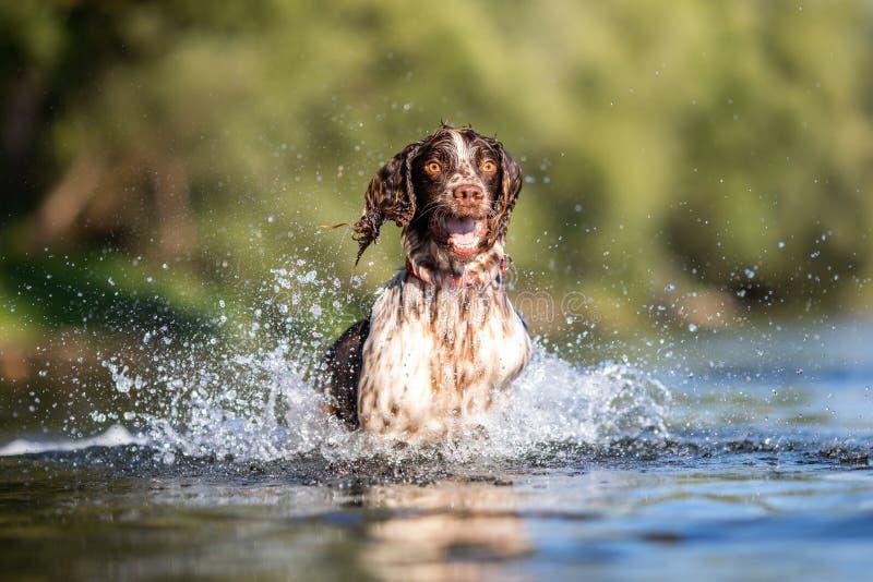 Hund som spelar i vatten - Springerspaniel royaltyfria foton