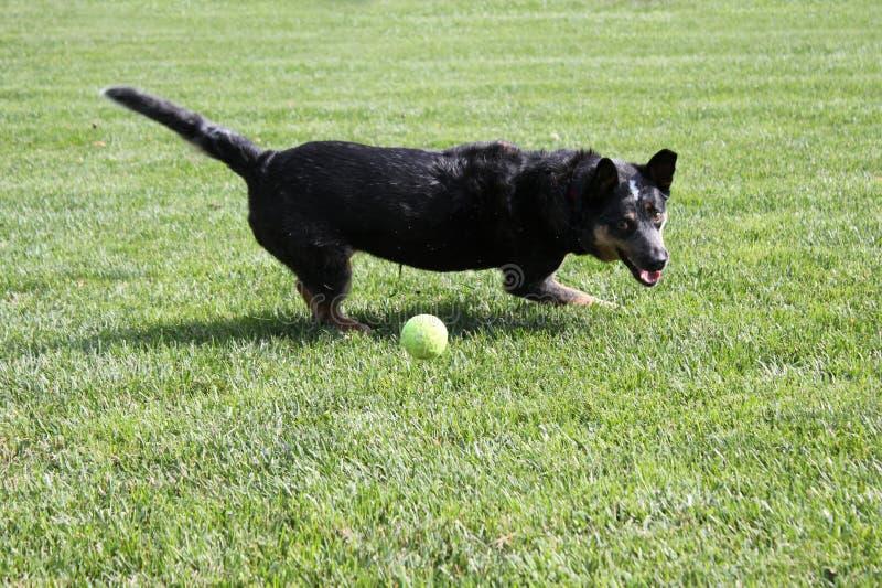 Hund som spelar med en tennisboll royaltyfri foto