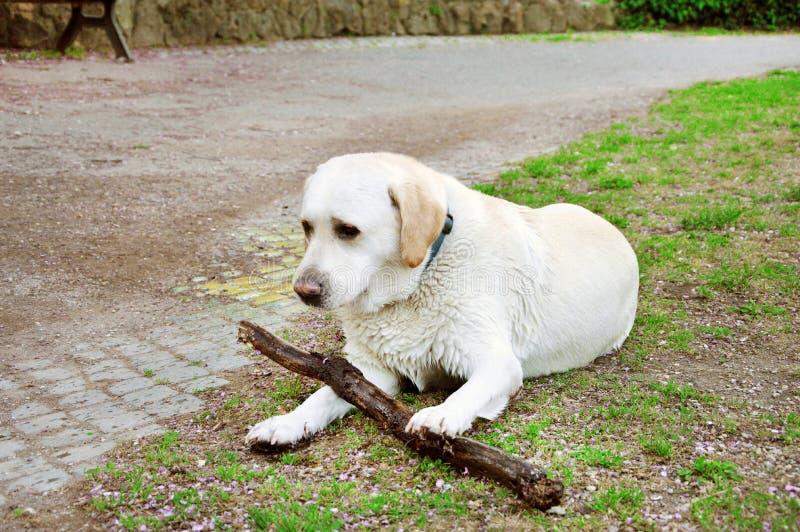 Hund som spelar med ett stycke av trä royaltyfri foto