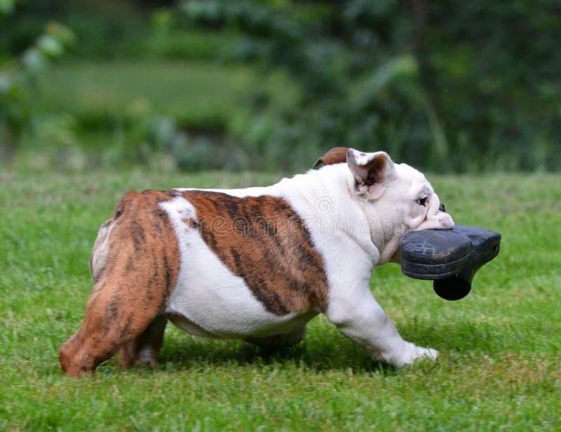 Hund som stjäler skon royaltyfria bilder