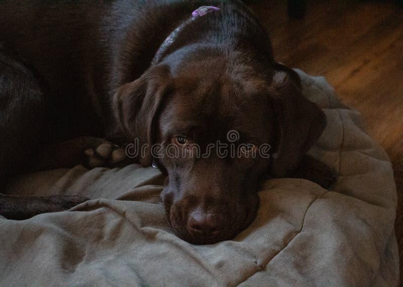 Hund som ta sig en tupplur på säng royaltyfria bilder