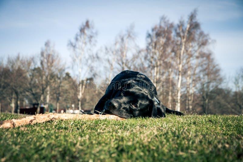 Hund som tuggar på en pinne royaltyfria bilder
