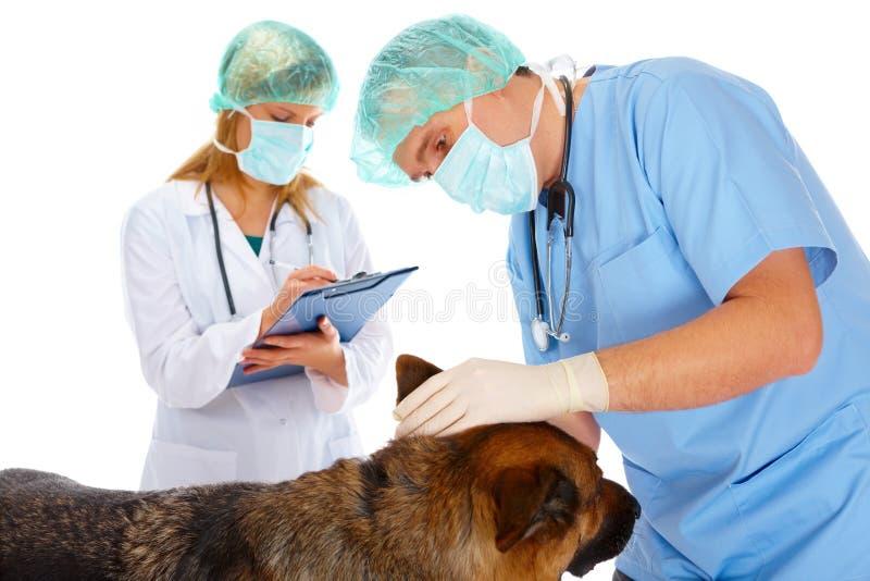 hund som undersöker två vets royaltyfria foton