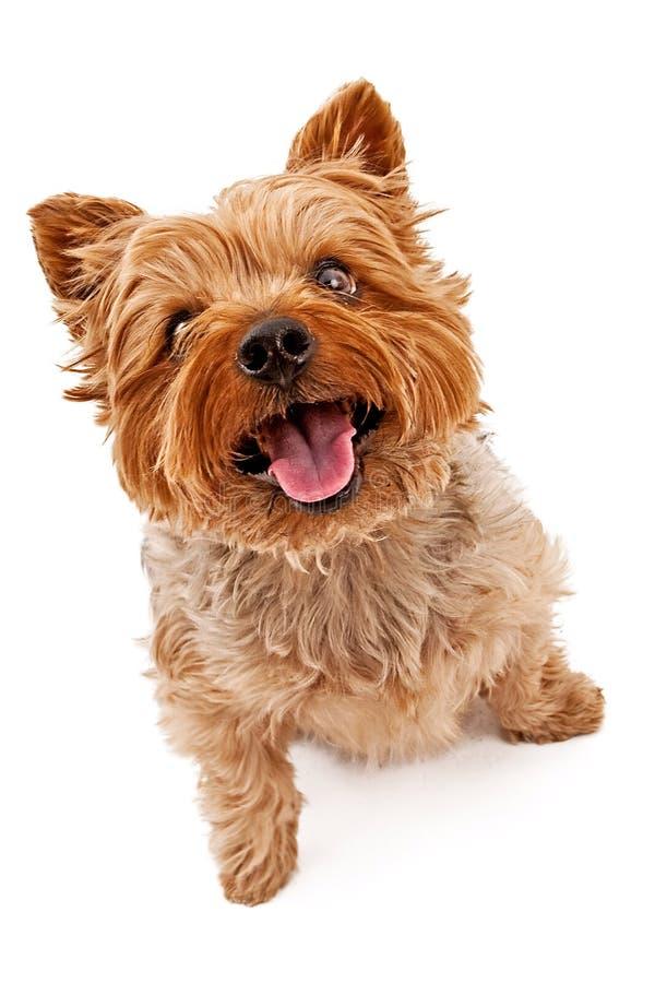 hund som upp ser yorkie arkivbilder